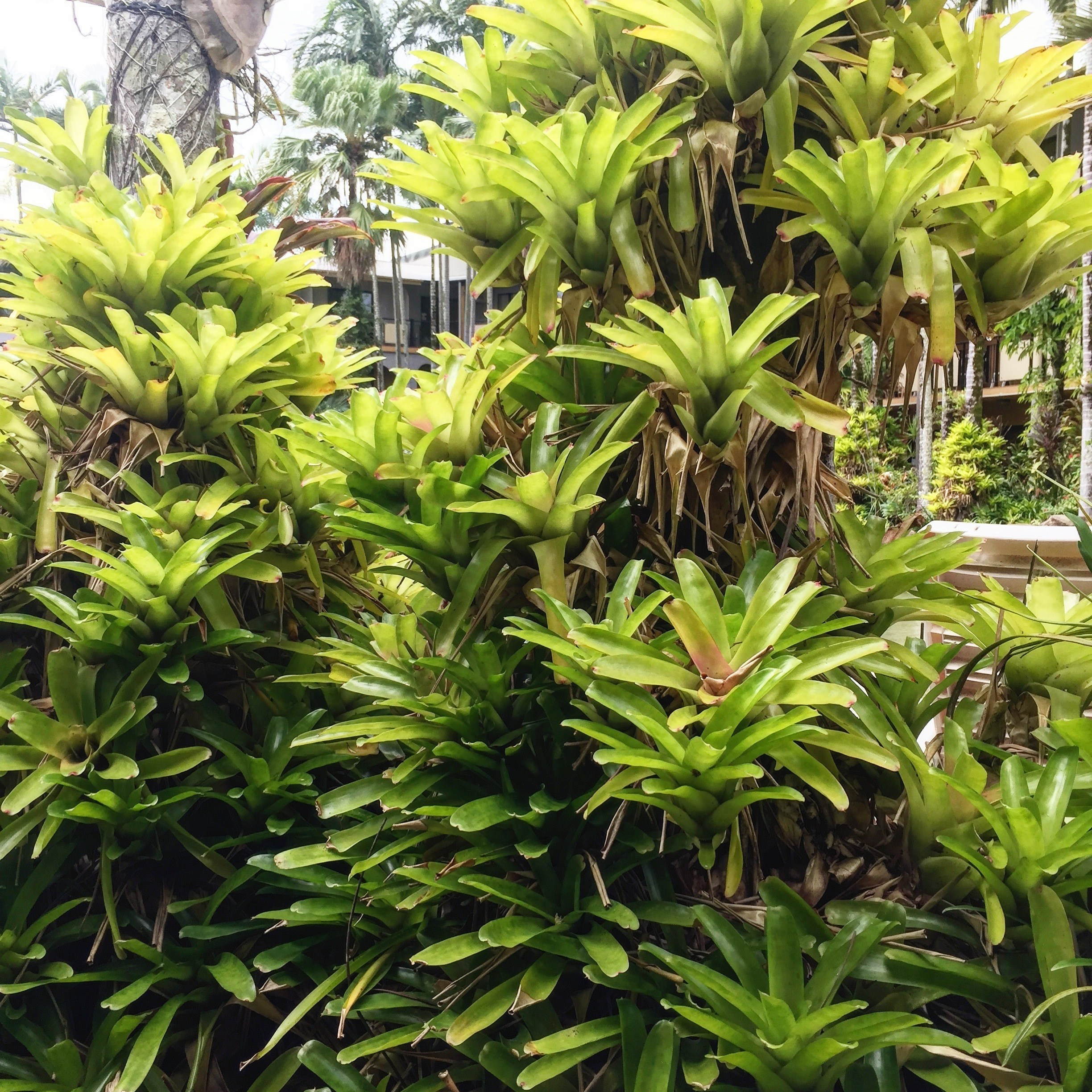Bromeliads are epiphytes all over palm trees in Cairns and surrounds