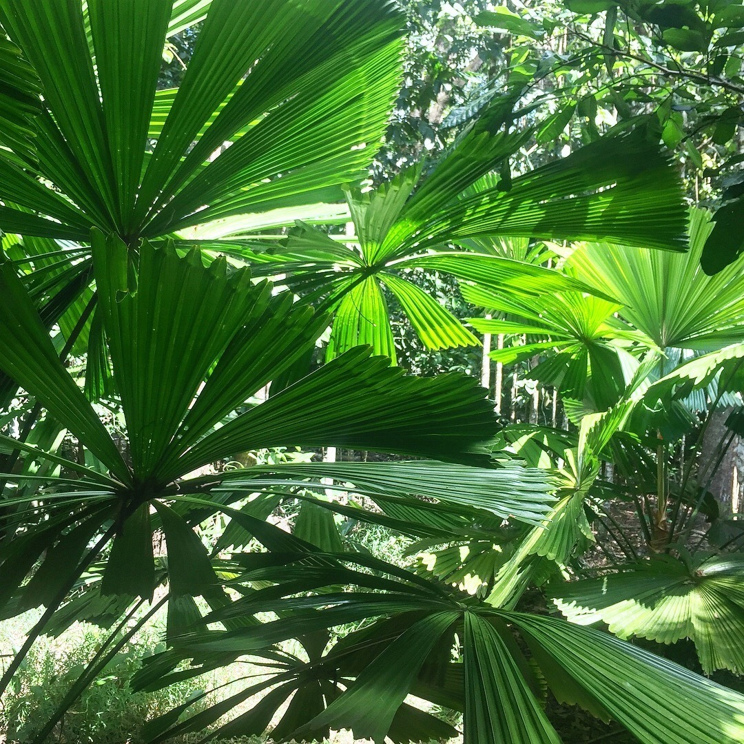 Fan palms in Kuranda - Atherton tableland
