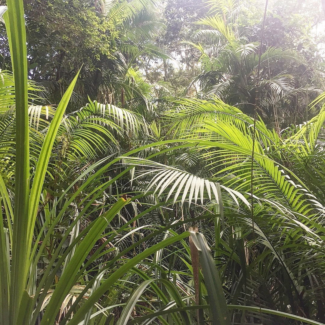 Variety of palms in Kuranda - Atherton tableland