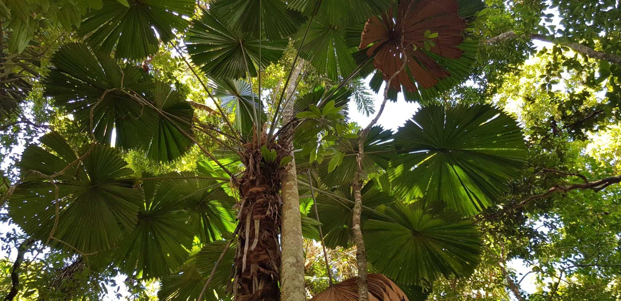 Fan palms in the Daintree rainforest